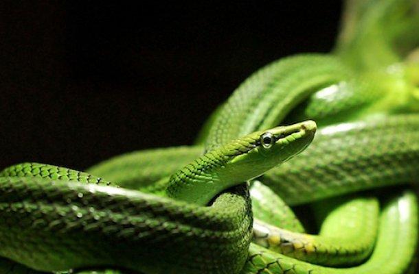 TRR_Snake_529PxSquare