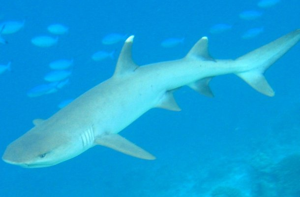 Whitetip-reef-shark_cropped