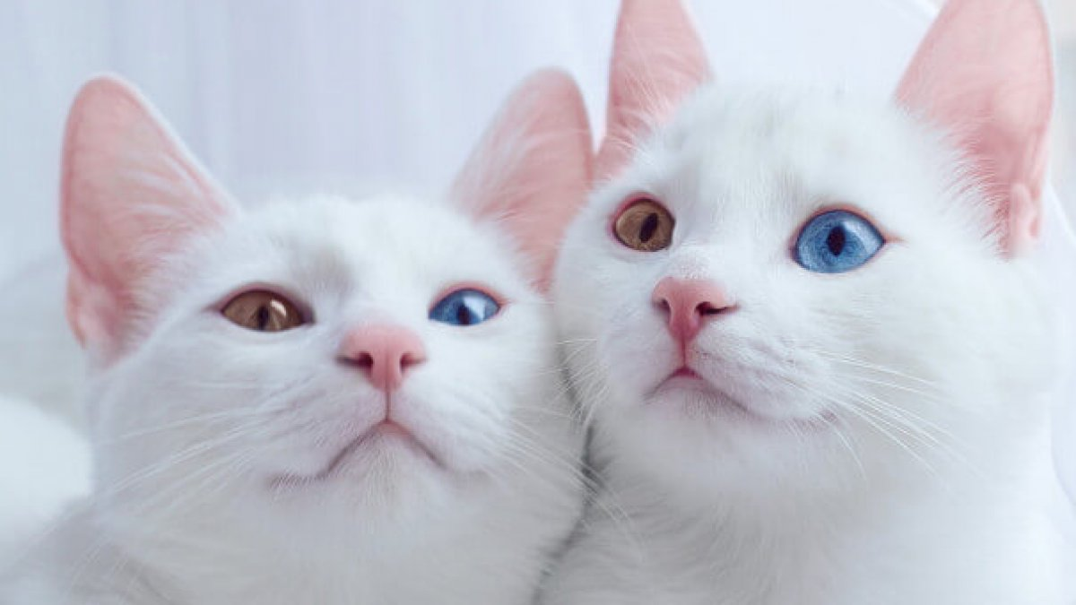 These ridiculously cute cats look exactly like david bowie telekom these ridiculously cute cats look exactly like david bowie telekom electronic beats voltagebd Images
