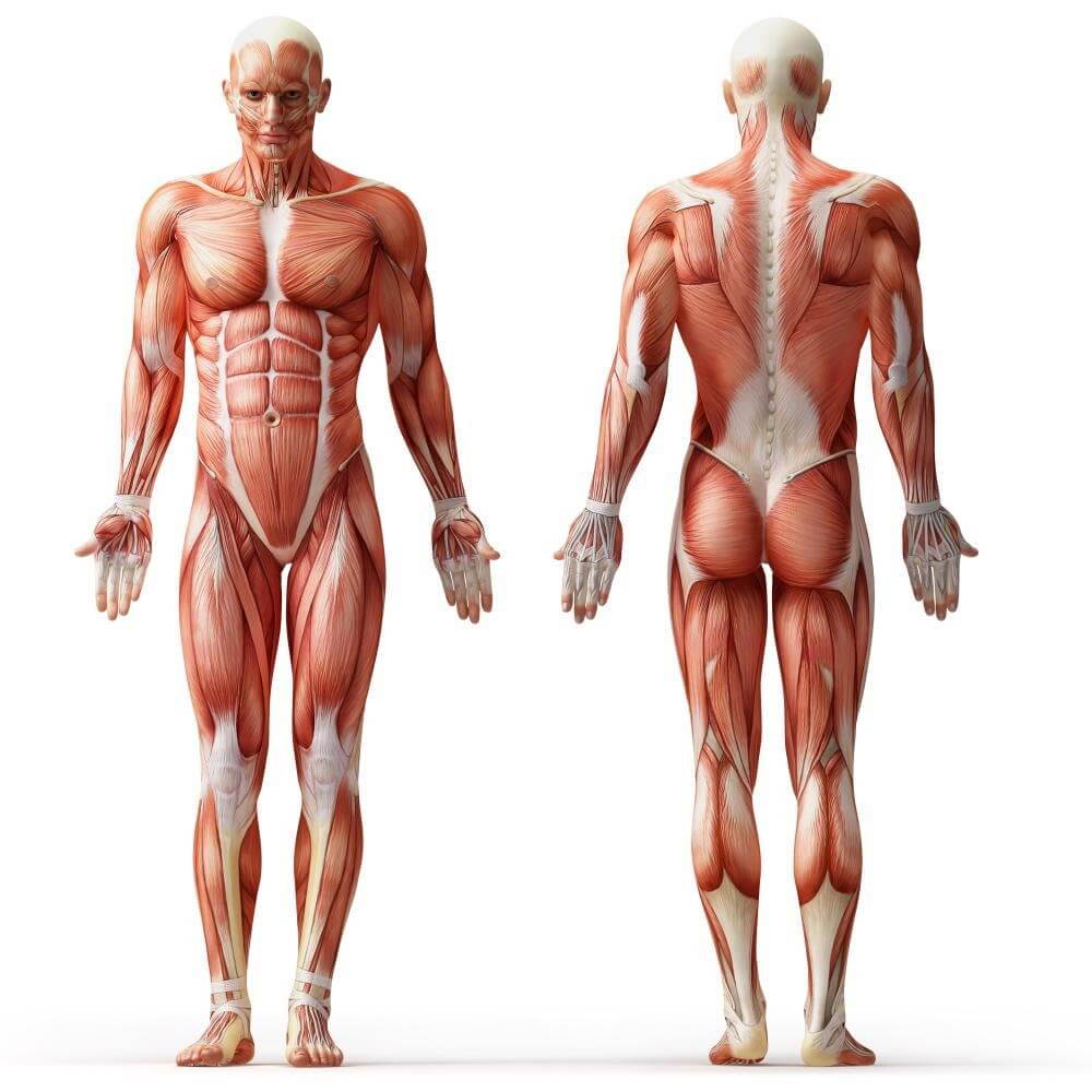 Human Body Anatomy Muscles Human Anatomy Human Muscle Anatomy For